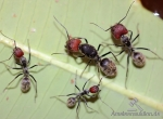 Camponotus singularis for sale