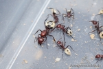 Camponotus detritus for sale.