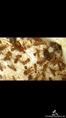 Anoplolepsis Gracileps/Yellow Crazy Ants