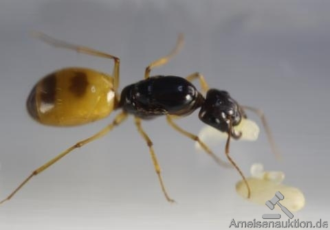 Camponotus turkestanus for sale
