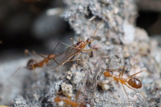Yellow crazy ants for sale(Anoplolepis gracilipes)