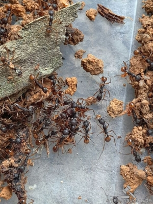 Aphaenogaster polyodonta colony with 1 queen and 80 workers is for sale.