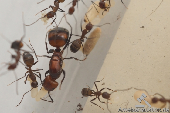 Camponotus nicobarensis small colnies for sale